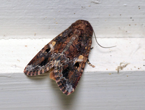 Lawn Armyworm | Spodoptera mauritia photo
