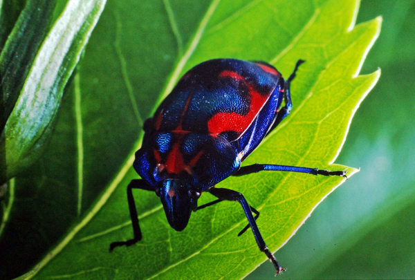 Hibiscus Harlequin Bug | Tectocoris diophthalmus photo
