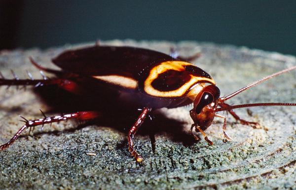 Australian Cockroach   Periplaneta australasiae photo