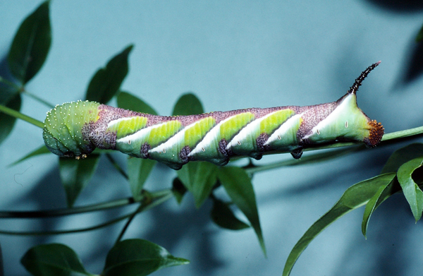 Privet Hawk Moth | Psilogramma menephron photo