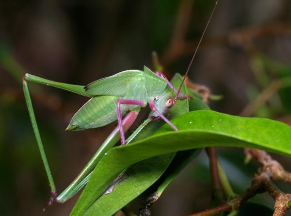 Katydid   Tettigoniidae family  photo