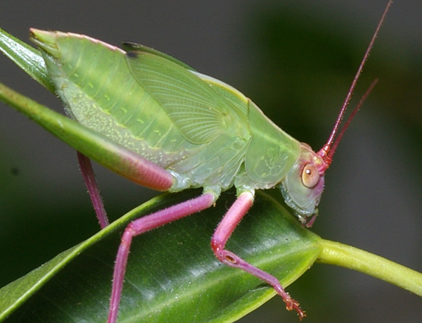 Katydid | Tettigoniidae family  photo