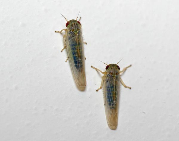 Leafhopper   Cicadllidae family sp3 photo