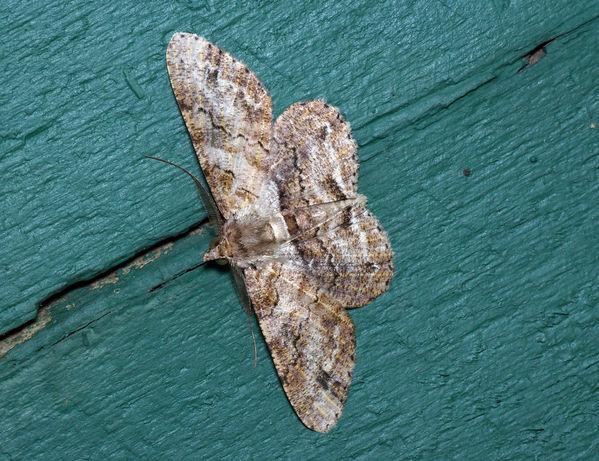 no common name | Cleora sp2 photo