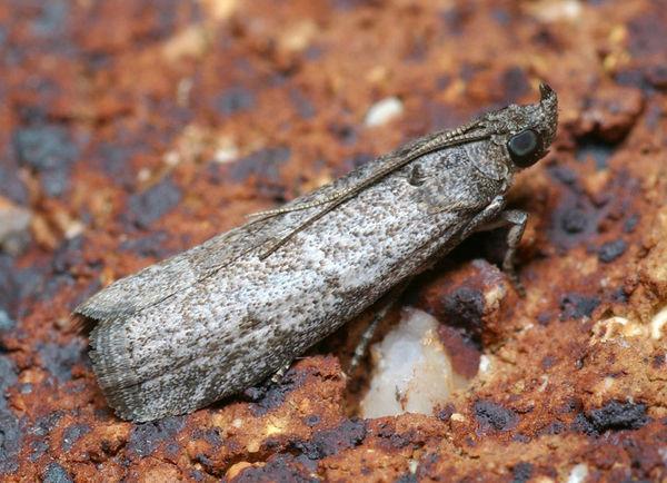 Carob Moth   Apomyelois ceratoniae photo