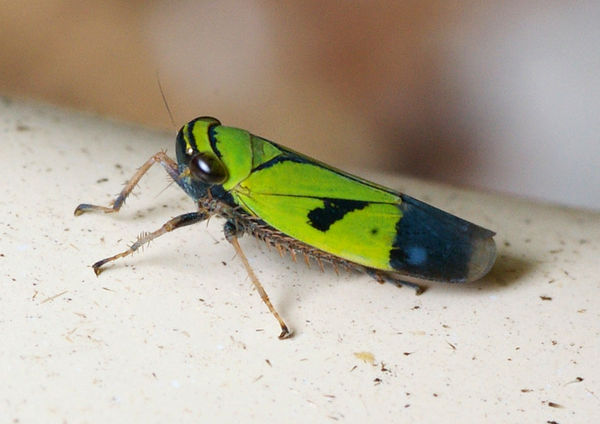 Green Leafhopper | Cicadllidae family sp2 photo