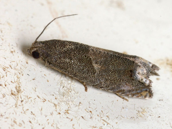 Leafroller Moth | Tortricidae family  photo