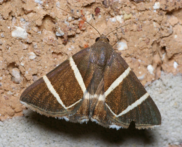 no common name | Grammodes justa photo