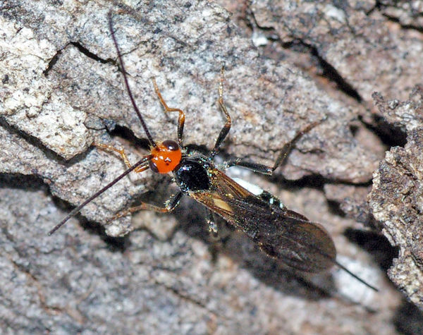 Braconid Wasp | Callibracon sp photo