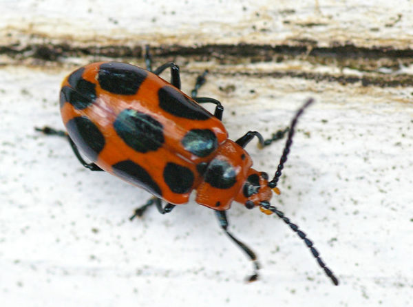 Leaf Beetle | Phyllocharis sp photo