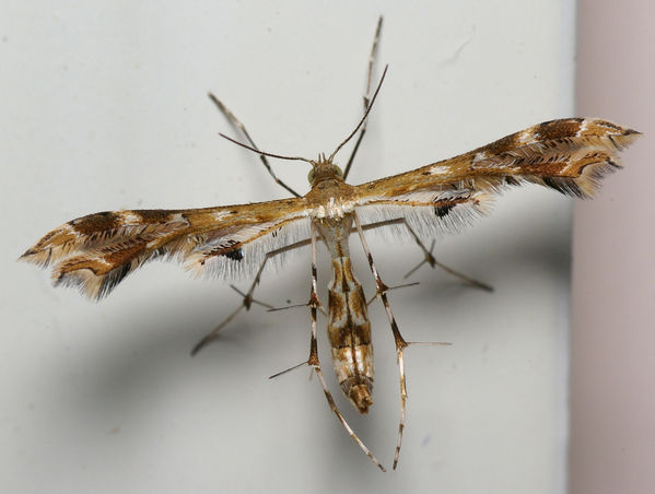 Plume Moth | Pterophoridae family  photo