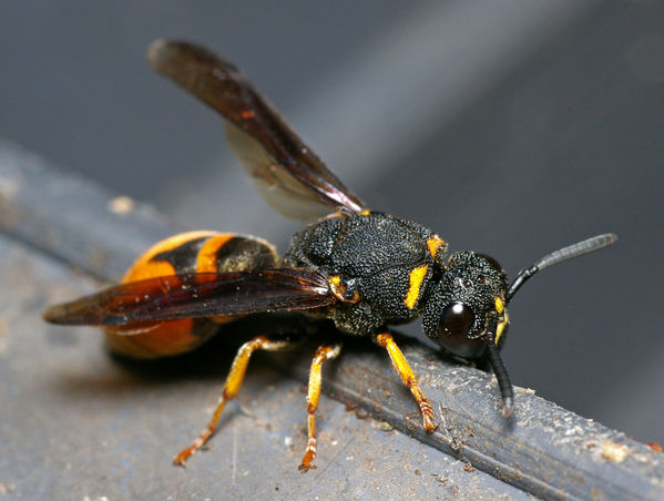 Mason wasp | Vespidae family sp2 photo