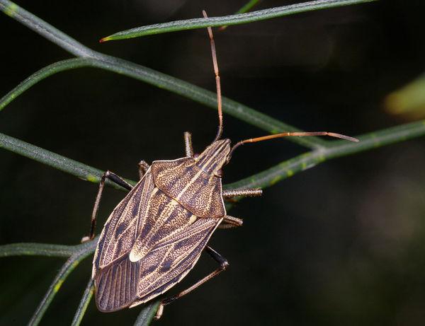 Gum Tree Shield Bug   Poecilometis ellipticus photo