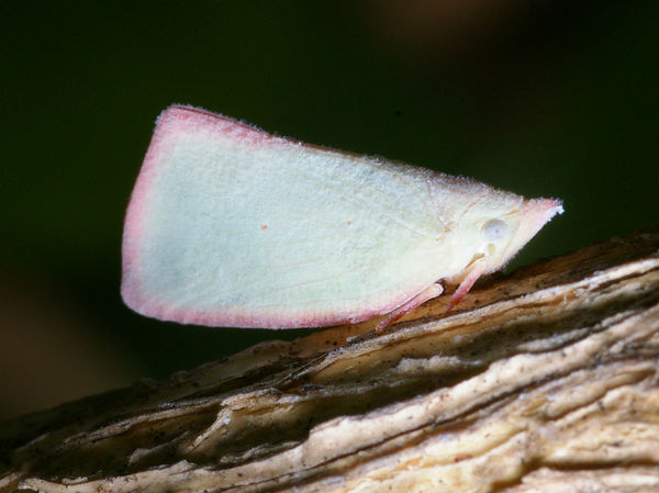 Planthopper | Colgaroides sp photo