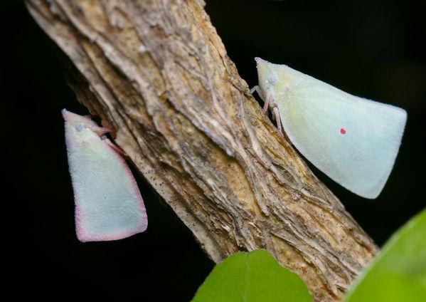 Planthopper   Colgaroides sp photo