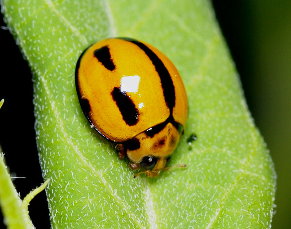 Variable Ladybird striped form | Coelophora inaequalis 2 photo