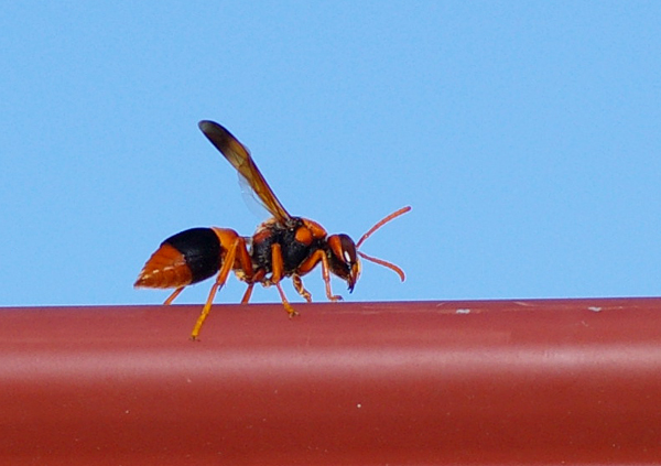 Potter Wasp | Abispa ephippium photo