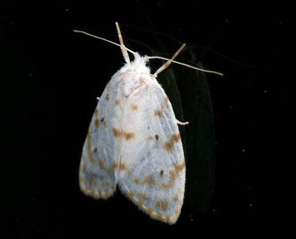 no common name (Schistophleps albida)