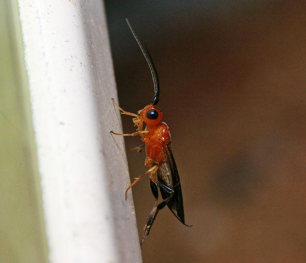 Braconid Wasp   Braconidae family  photo