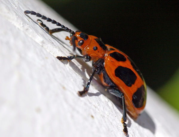Leaf Beetle | Phyllocharis sp photo