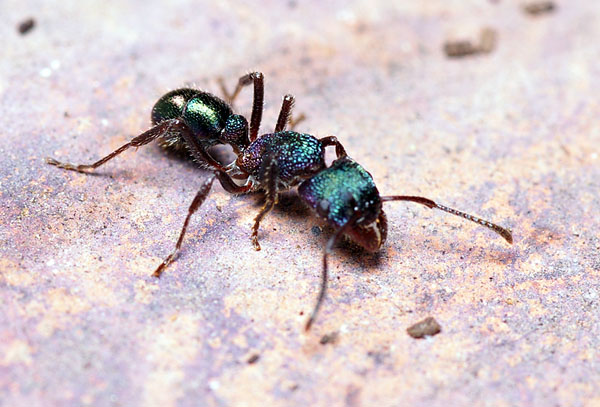 Green-head Ant | Rhytidoponera metallica photo