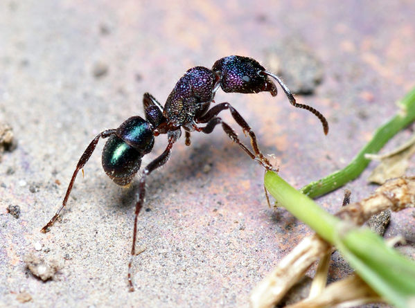 Green-head Ant | Rhytidoponera metallica photo