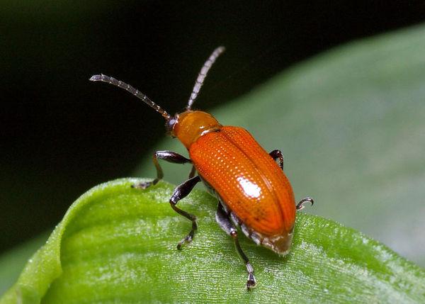 Lily Leaf Beetle | Lilioceris nigripes photo