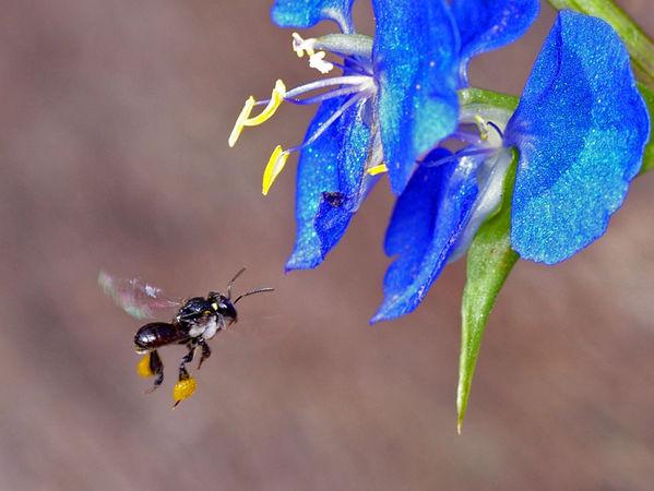 Sugar-bag Bee | Trigona sp photo