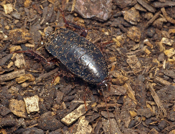 Black Cockroach | Platyzosteria sp photo