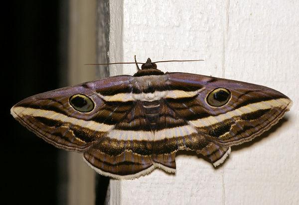 no common name   Donuca orbigera photo