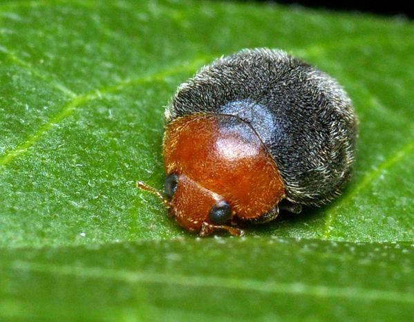 Mealybug Ladybird | Cryptolaemus montrouzieri photo