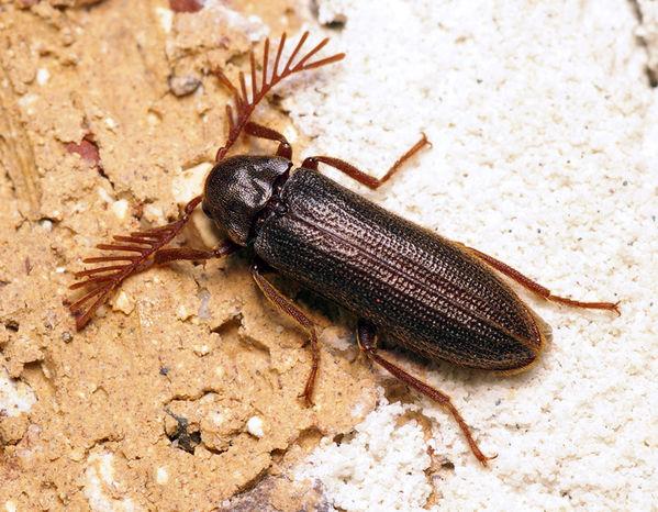 unknown   Rhipiphoridae family sp1 photo