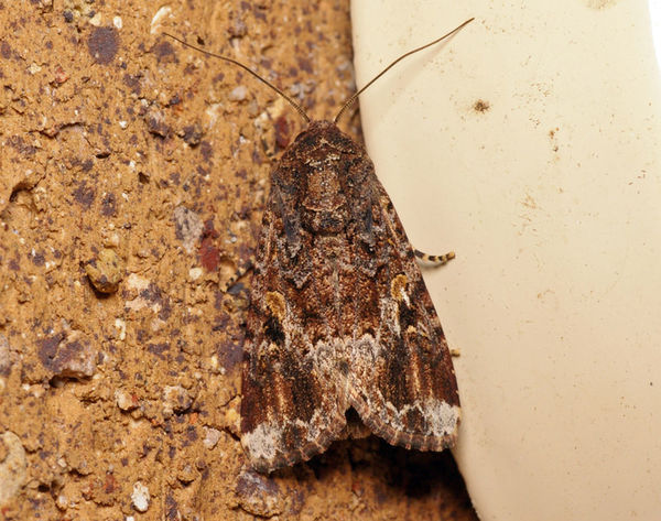 Armyworm | Spodoptera sp photo