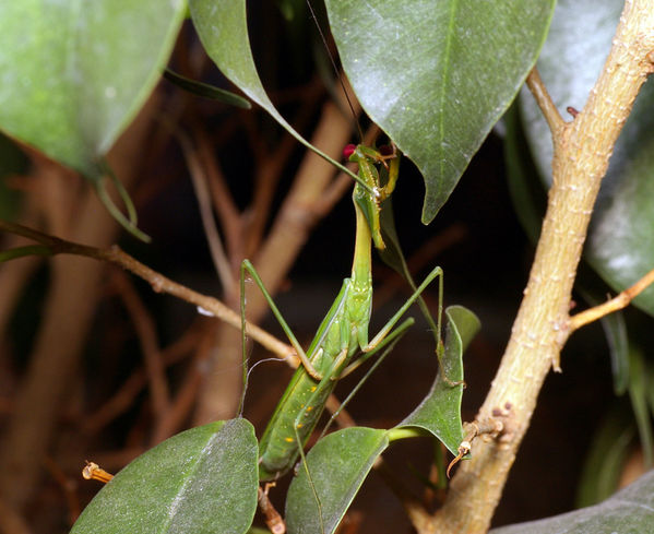 Mantis | Mantidae family  photo