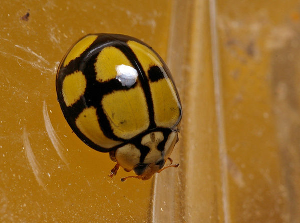 Tortoise-shelled Ladybird | Harmonia testudinaria photo