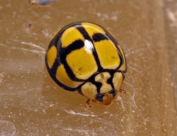 Tortoise-shelled Ladybird   Harmonia testudinaria photo