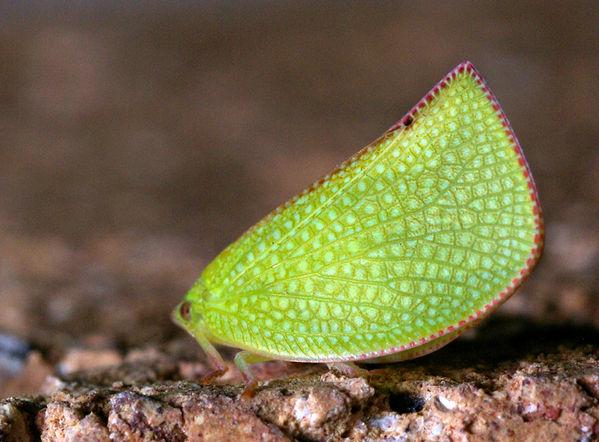 Common Green Planthopper | Siphanta hebes photo