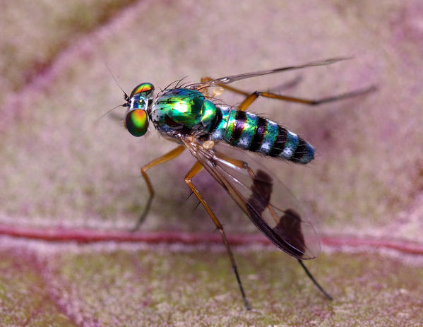 Long Legged Fly   Austrosciapus connexus photo