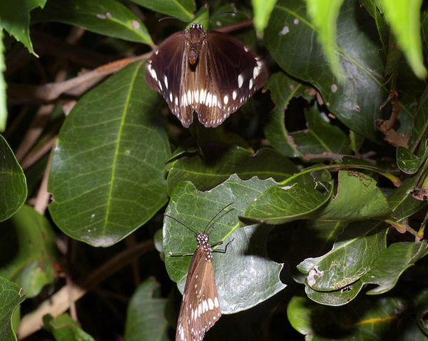 Common Crow Butterfly | Euploea core photo