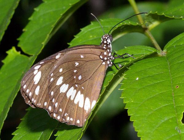 Common Crow Butterfly | Euploea core photo