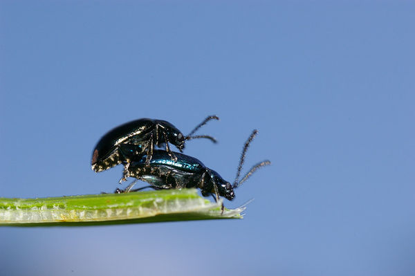 Leaf Beetle | Chrysomelidae family sp2 photo