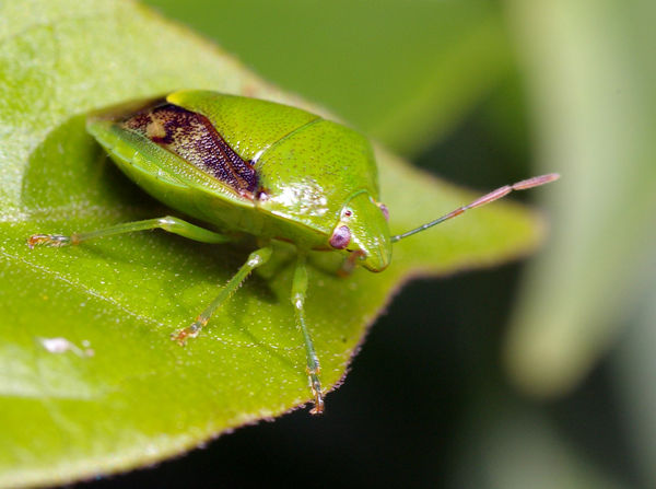 Green Stink Bug | Plautia affinis photo