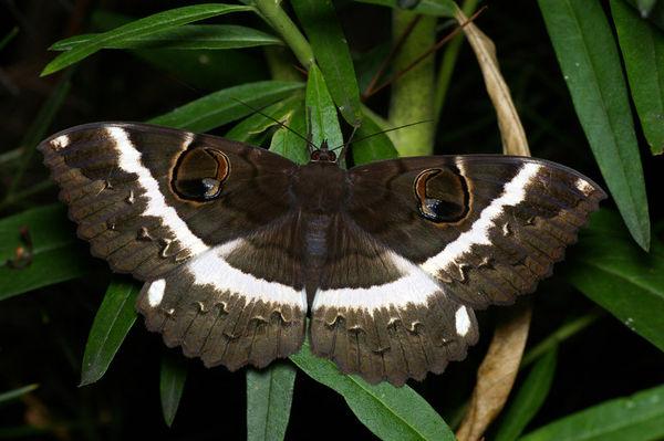 Erabus moth | Erebus terminitincta photo