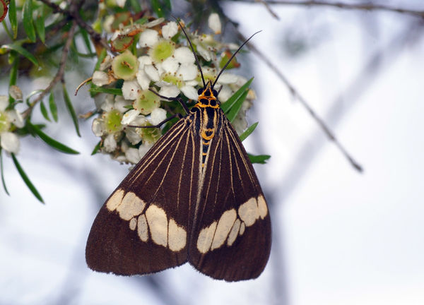 Magpie Moth | Nyctemera secundiana photo