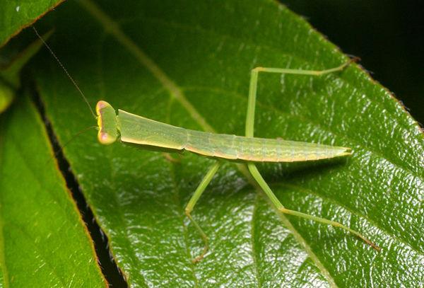 Garden Mantis | Orthodera ministralis photo