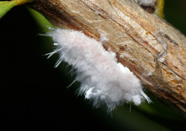 Mealybug | Monophlebulus sp photo