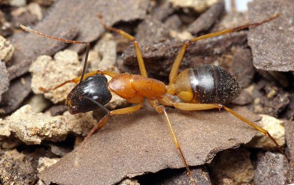 Banded Sugar Ant | Camponotus consobrinus photo