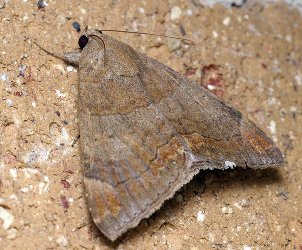 Castor Oil Semi-Looper moth | Achaea janata photo