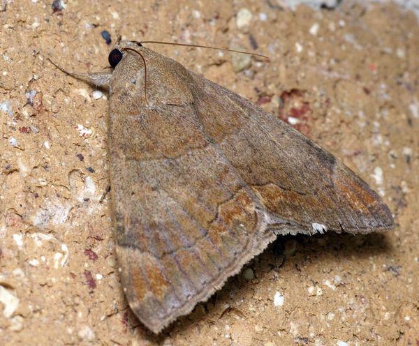 Castor Oil Semi-Looper moth | Achaea janata photo