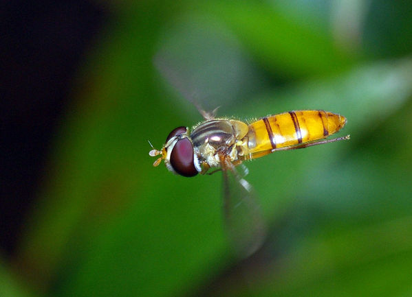 Hover Fly | Episyrphus sp photo